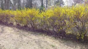 Yellow Forsythe