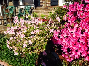 Azaleas in bloom 2 2014